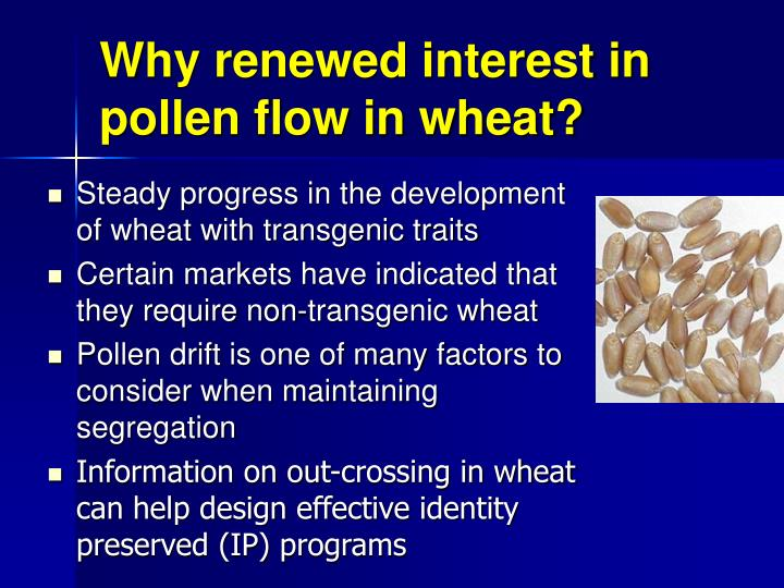 Why renewed interest in pollen flow in wheat