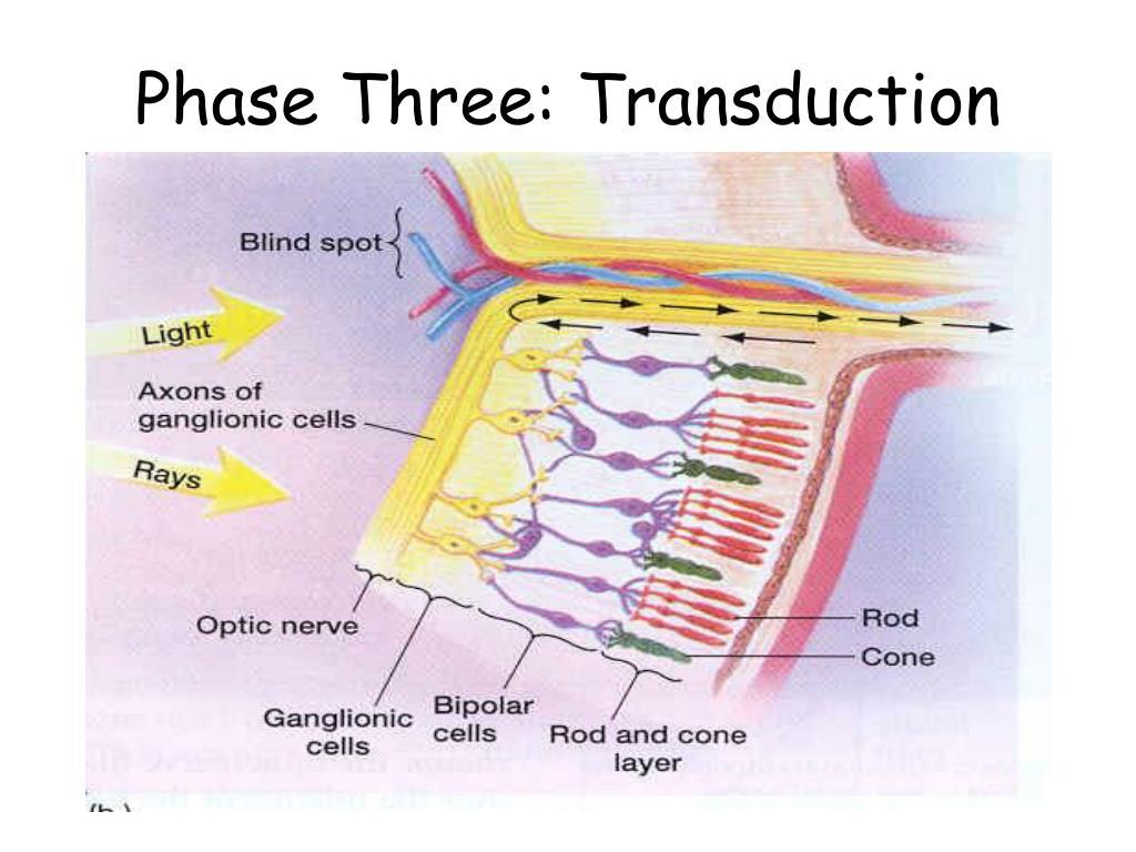 Phase Three: Transduction