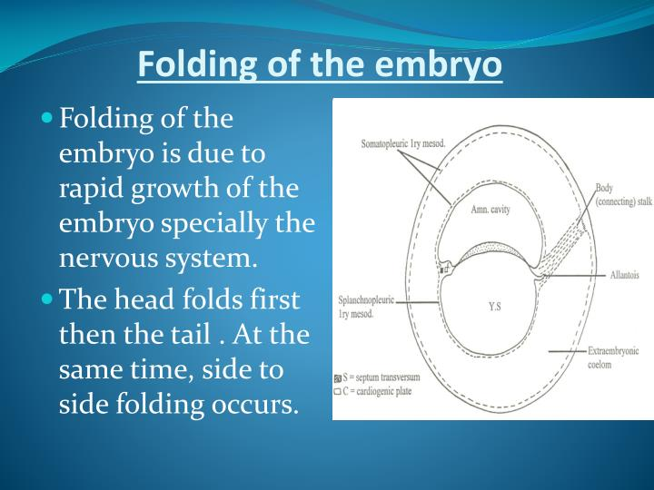 Folding of the embryo