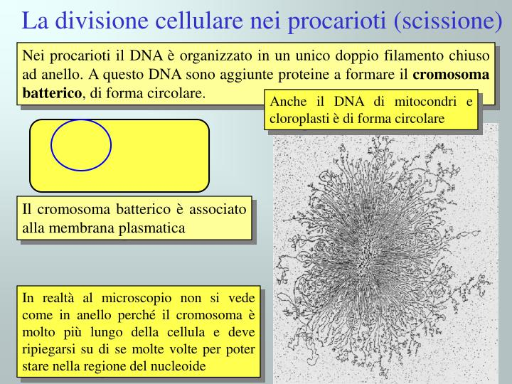 Il cromosoma batterico è associato alla membrana plasmatica