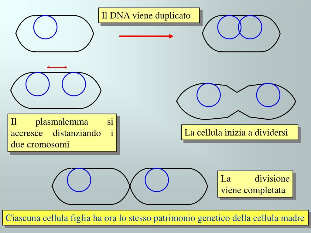 Il DNA viene duplicato