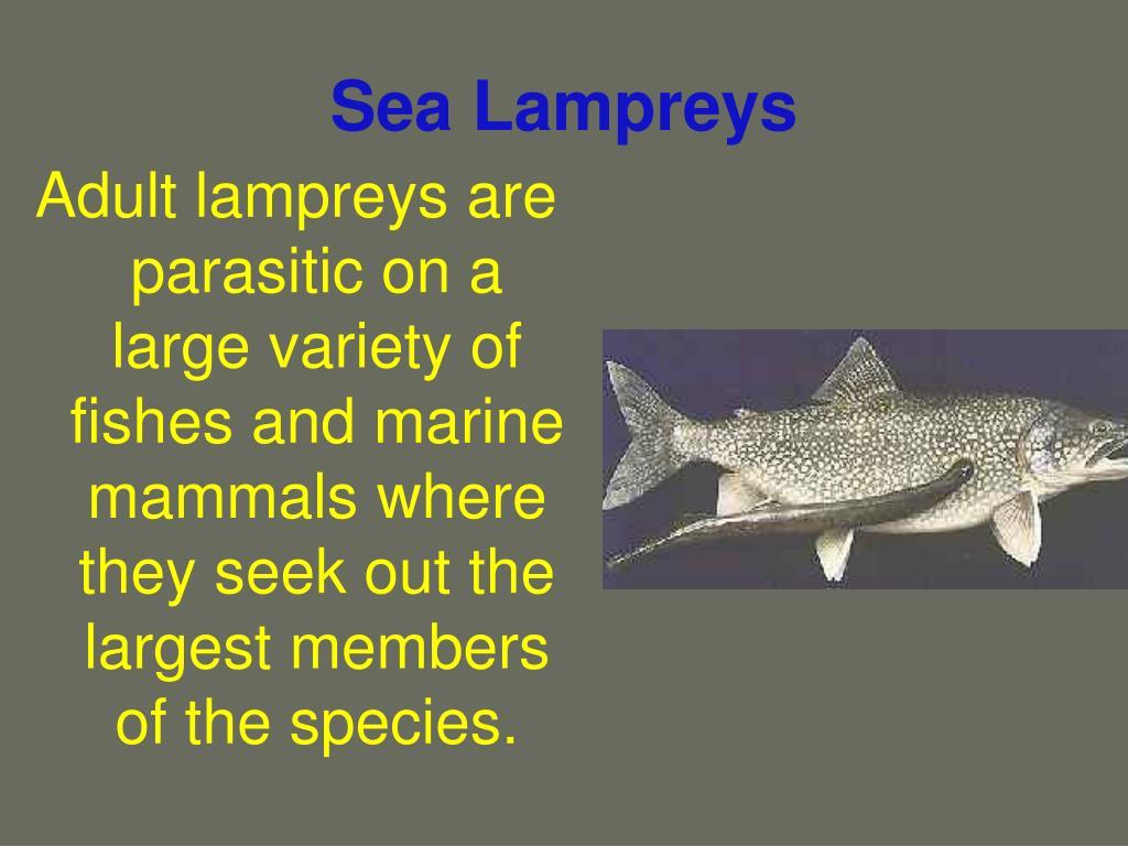 Sea Lampreys