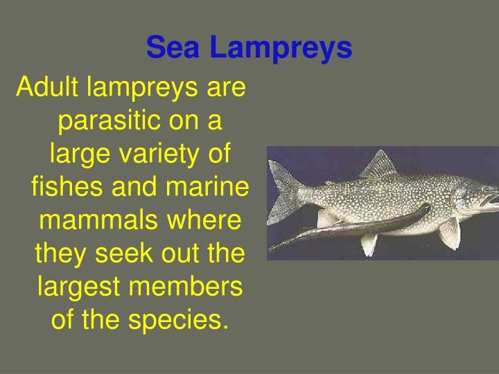 Sea lampreys3