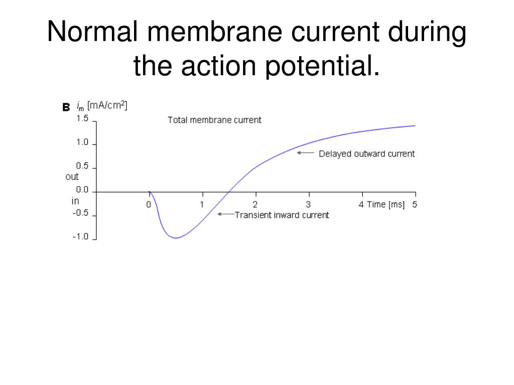Normal membrane current during the action potential.