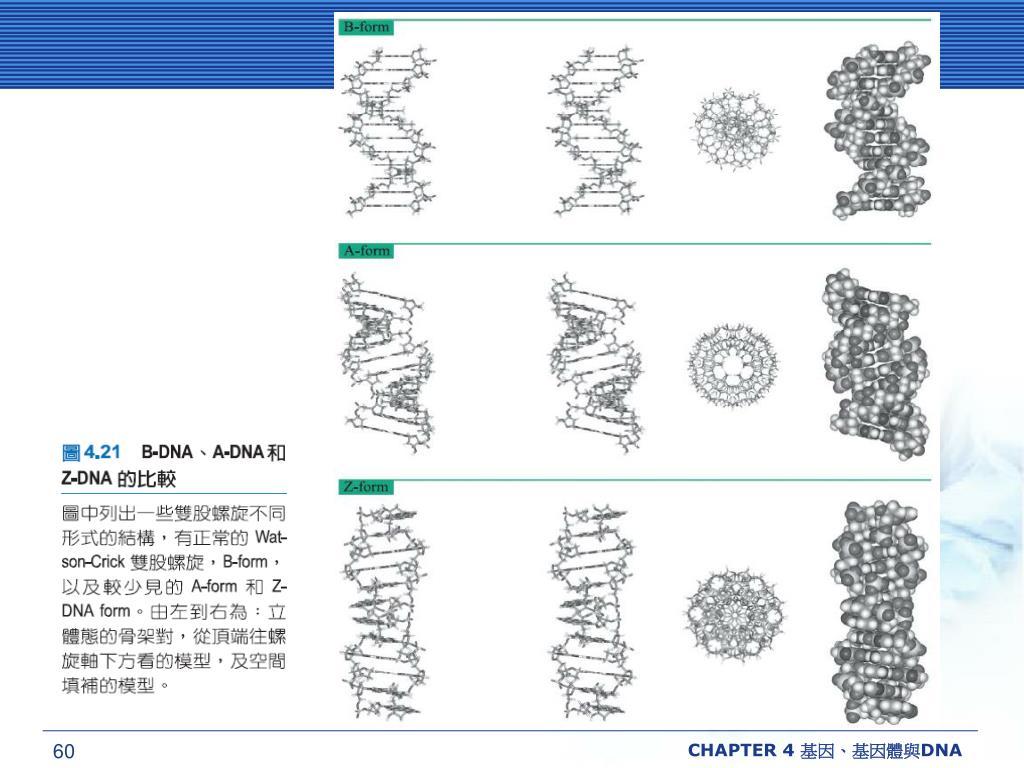 CHAPTER 4 基因、基因體與DNA
