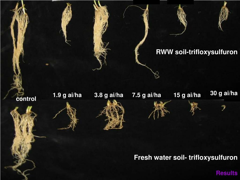 RWW soil-trifloxysulfuron