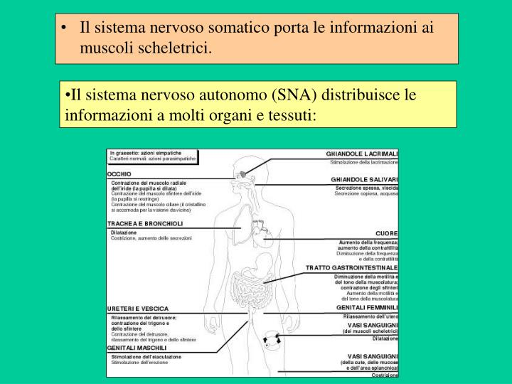 Il sistema nervoso autonomo (SNA) distribuisce le informazioni a molti organi e tessuti: