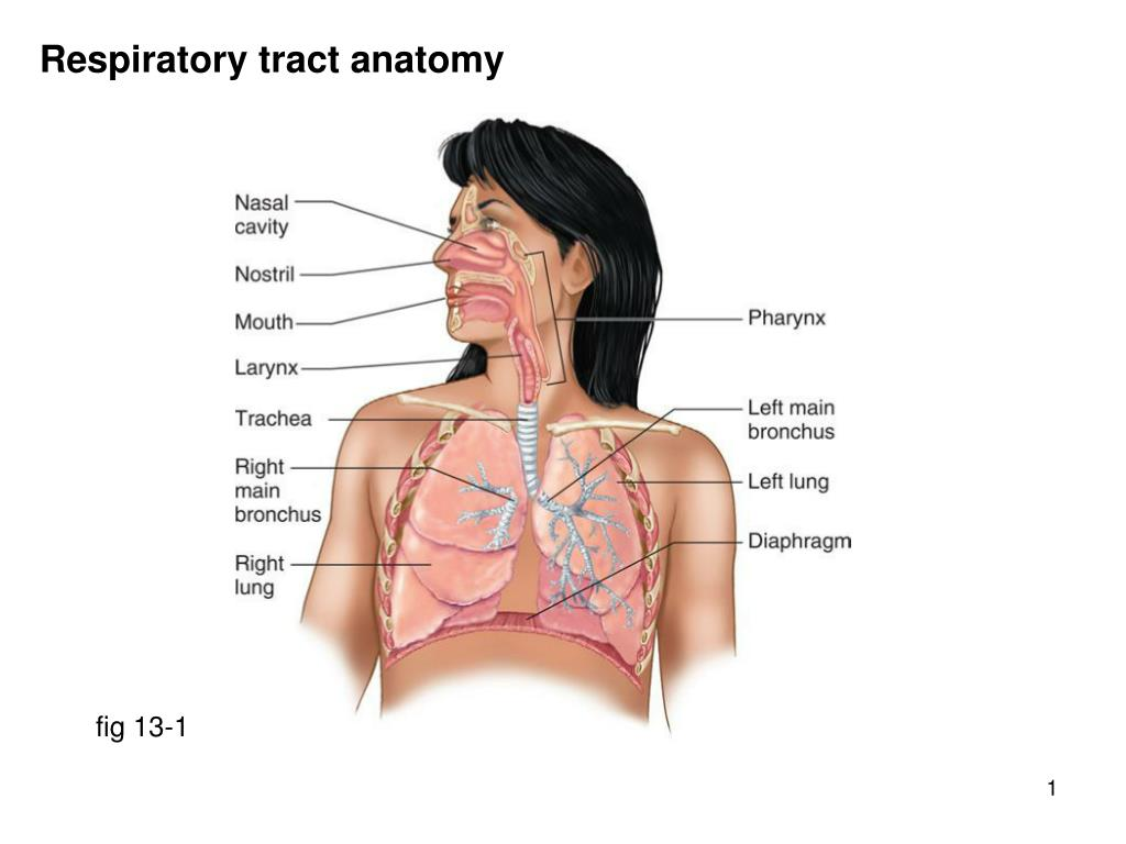 Ppt Respiratory Tract Anatomy Powerpoint Presentation Id580409