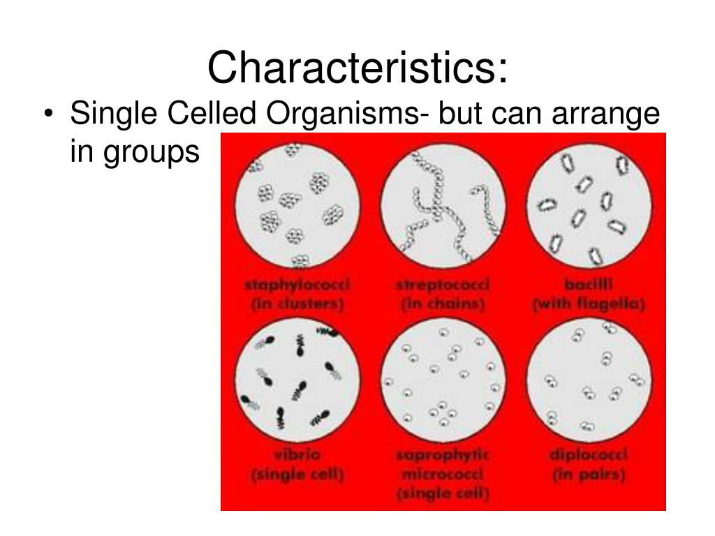 moneran kingdommonerans are one celled organisms It is unicellular the kingdom monera includes organisms that are single-celled known as bacteria the microorganisms in kingdom monera are considered as the most ancient living forms on earth the kingdom is divided into two groups archaebacteria.