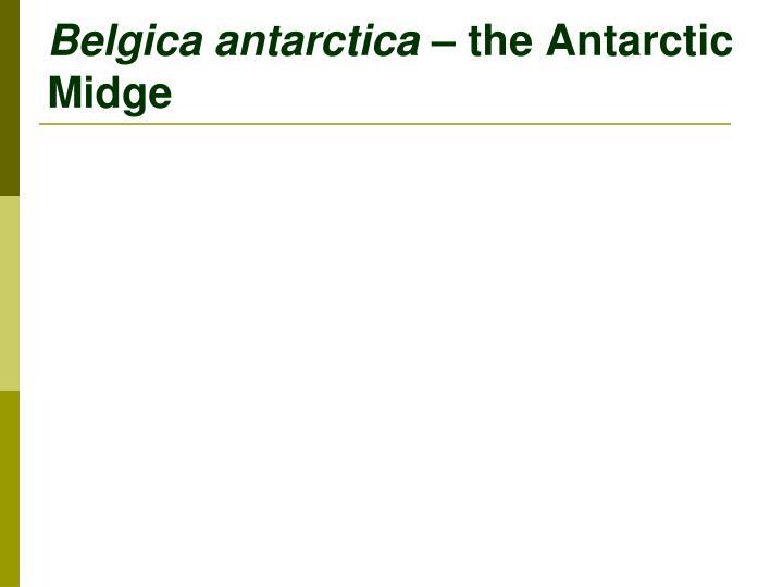 Belgica antarctica the antarctic midge