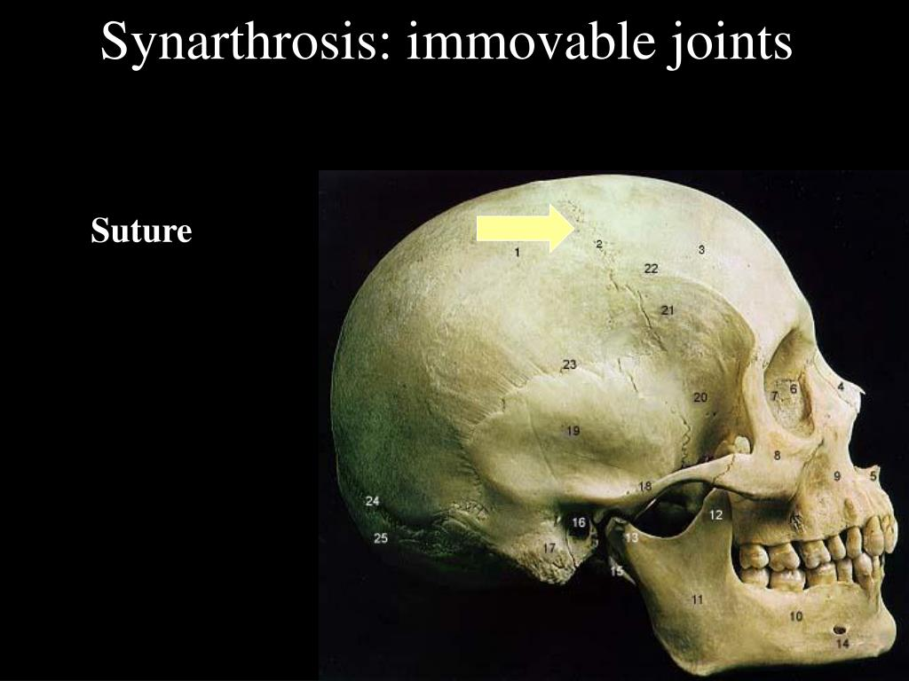 Synarthrosis: immovable joints