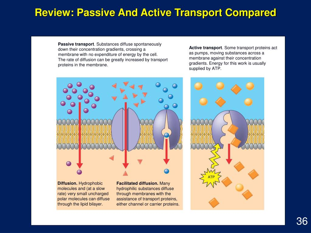 Review: Passive And Active Transport Compared