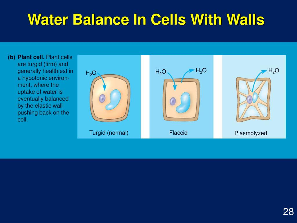 Water Balance In Cells With Walls