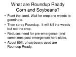 what are roundup ready corn and soybeans