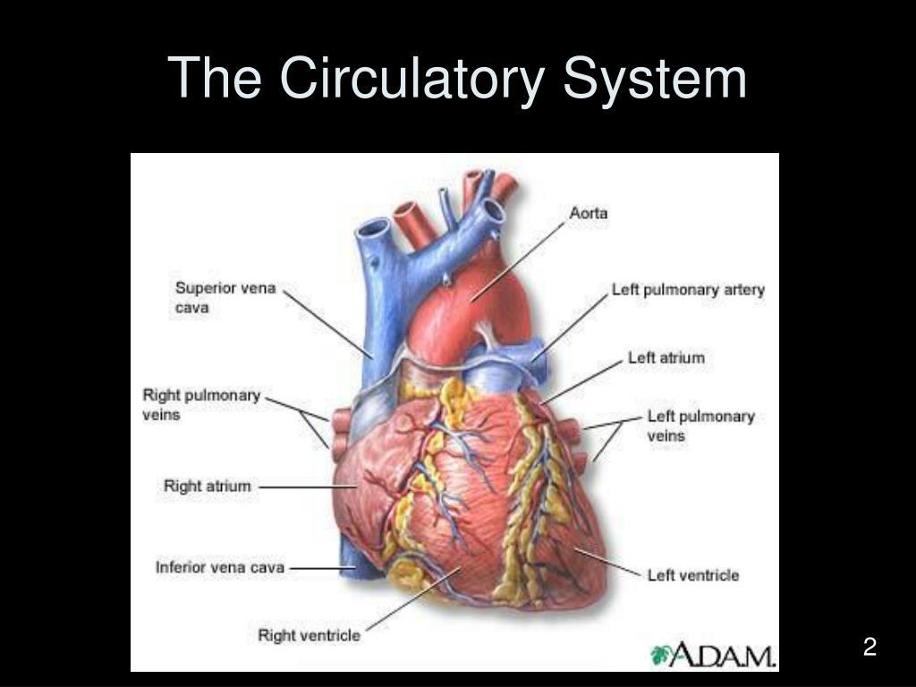 the circulatory system l.