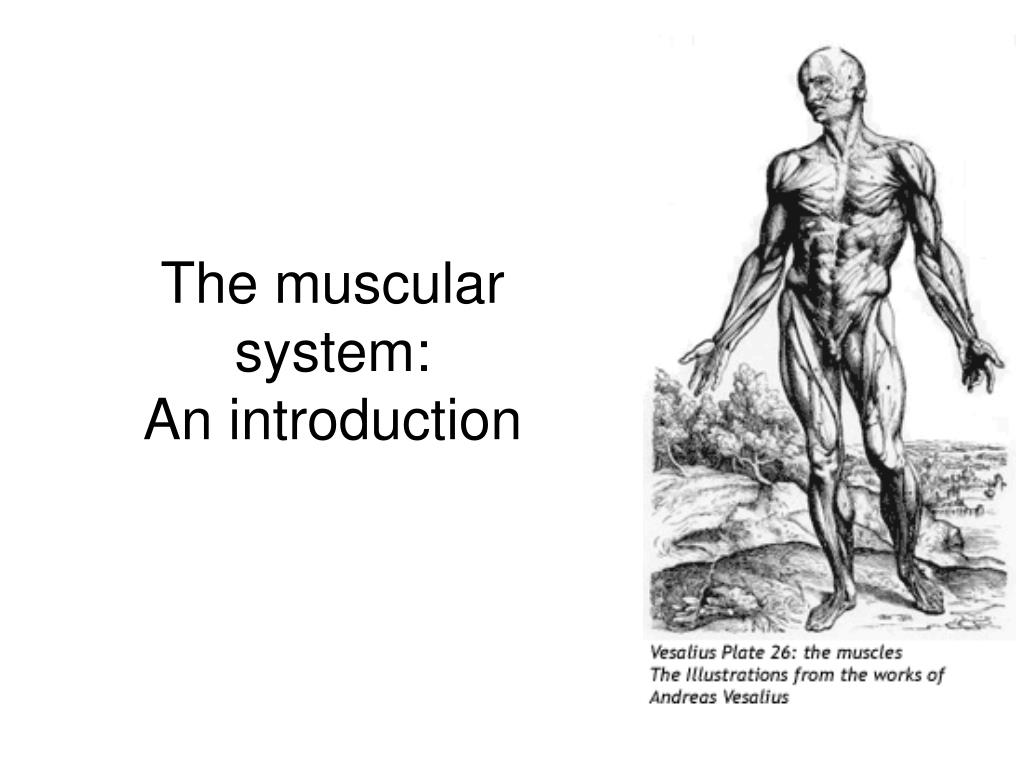 the muscular system an introduction l.