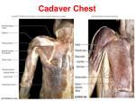 cadaver chest