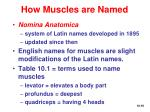 how muscles are named