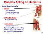 muscles acting on humerus46