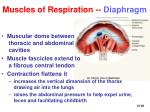 muscles of respiration diaphragm