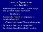 muscle organization and function