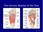 the intrinsic muscles of the foot149