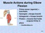 muscle actions during elbow flexion
