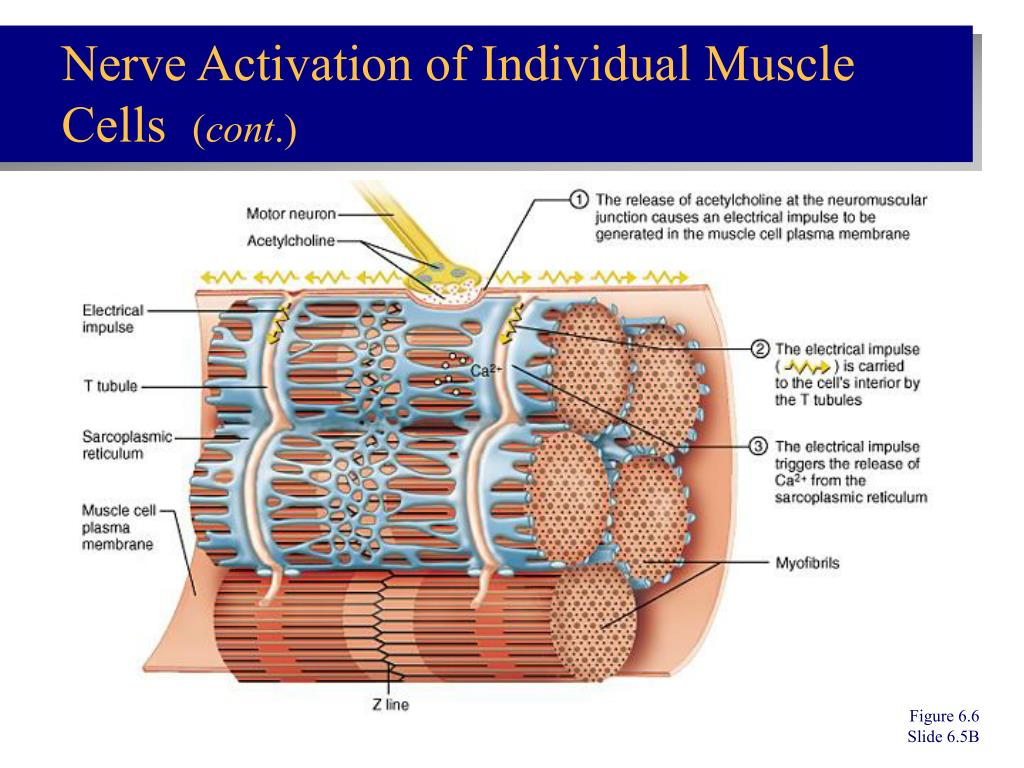 Nerve Activation of Individual Muscle Cells