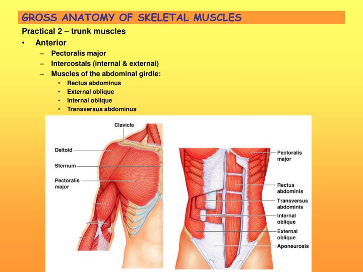Ppt Unit 5 Muscular System Powerpoint Presentation Id58793