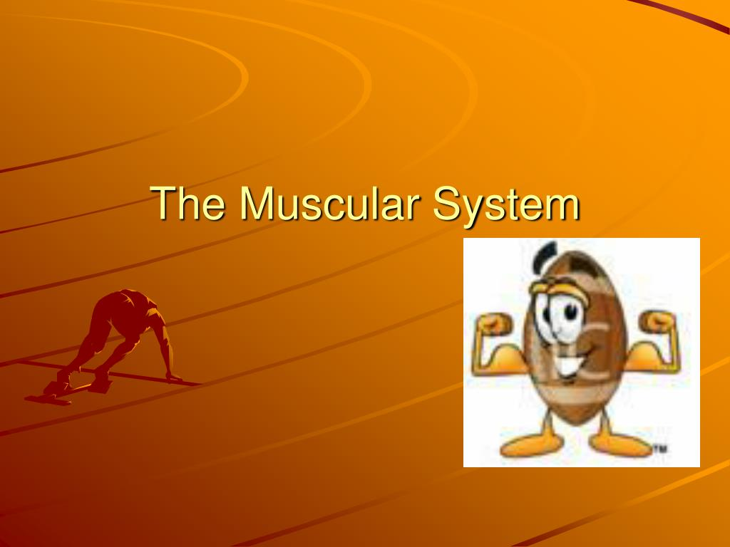 the muscular system l.