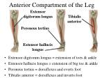 anterior compartment of the leg