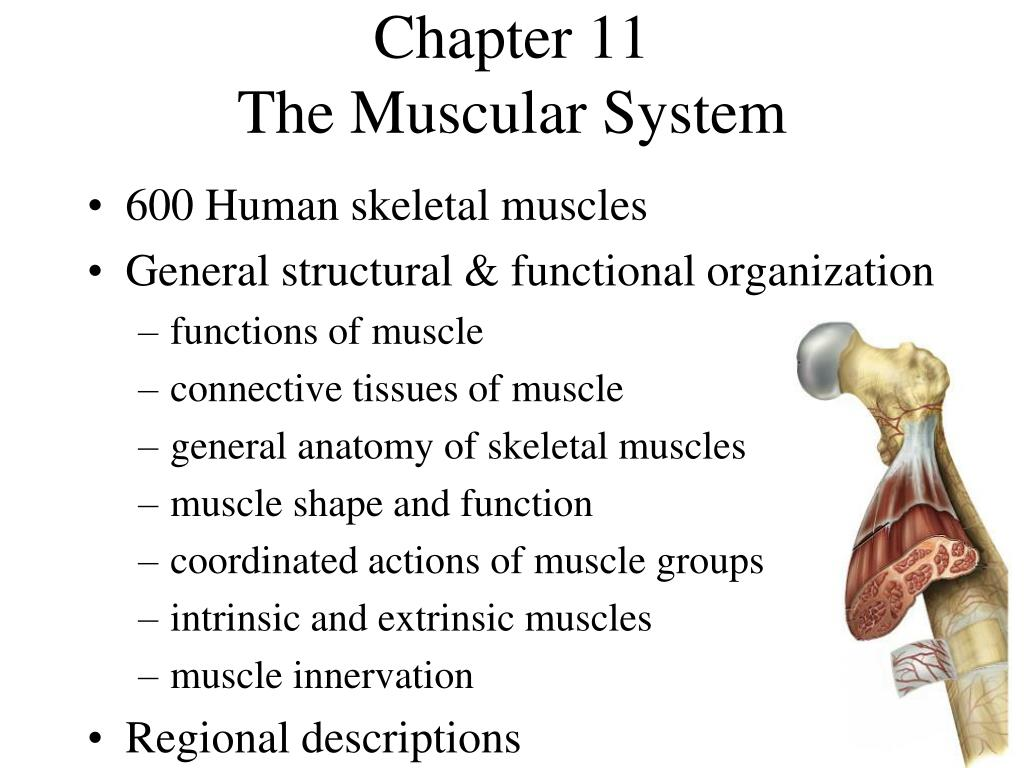 chapter 11 the muscular system l.