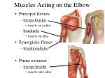 muscles acting on the elbow