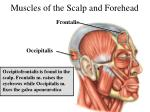 muscles of the scalp and forehead