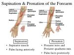 supination pronation of the forearm