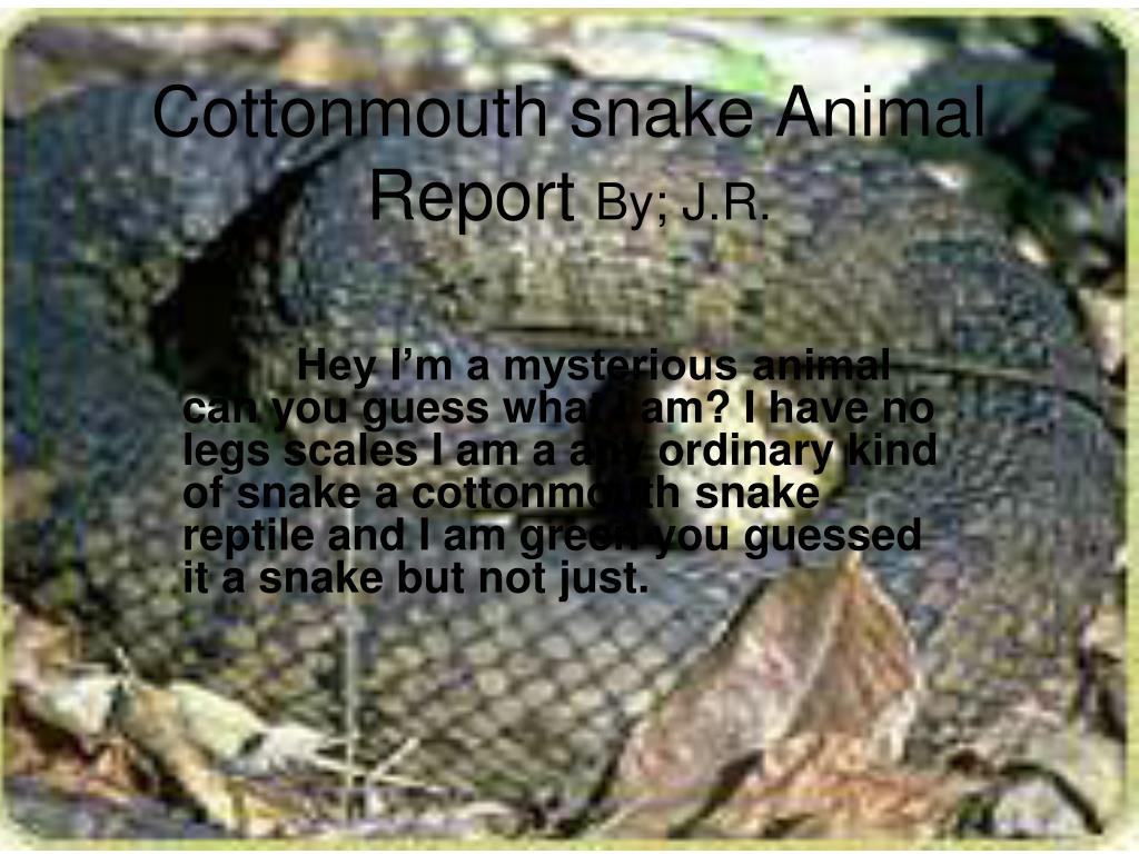 cottonmouth snake animal report by j r l.