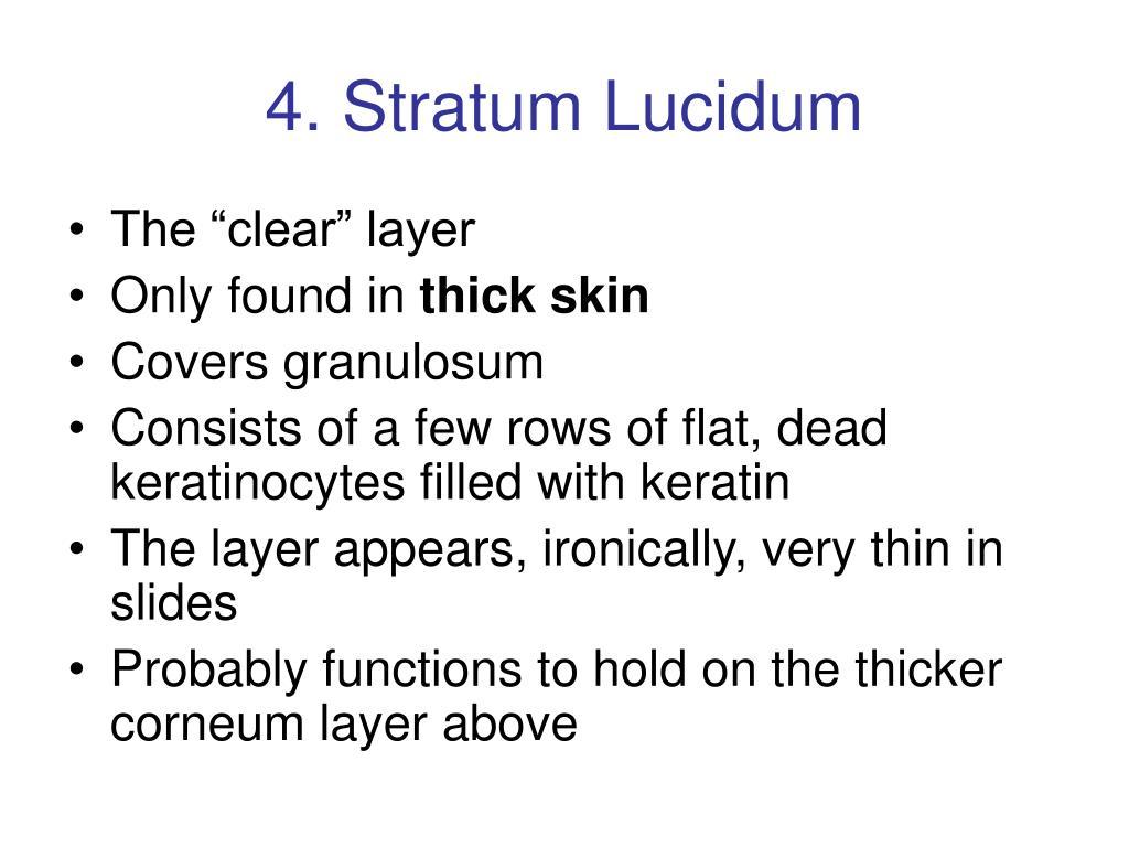 4. Stratum Lucidum