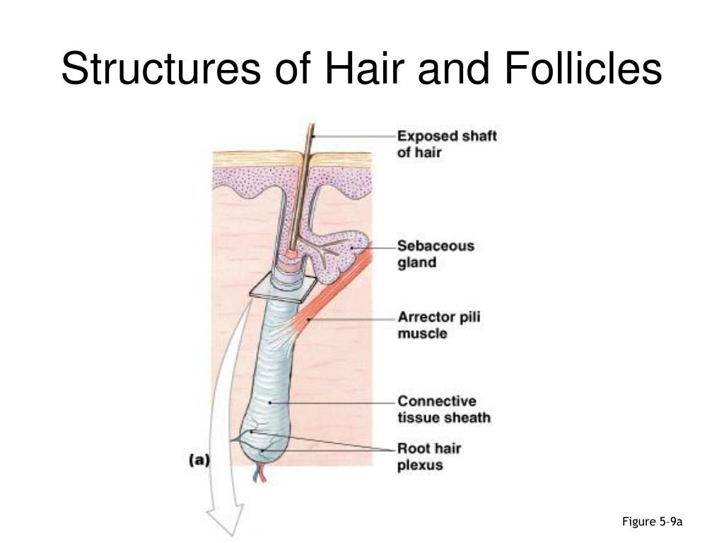 Structures of Hair and Follicles