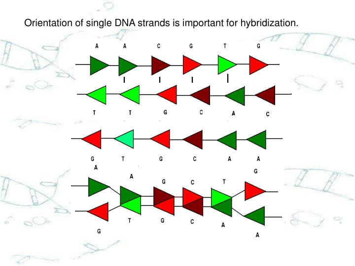 Orientation of single DNA strands is important for hybridization.