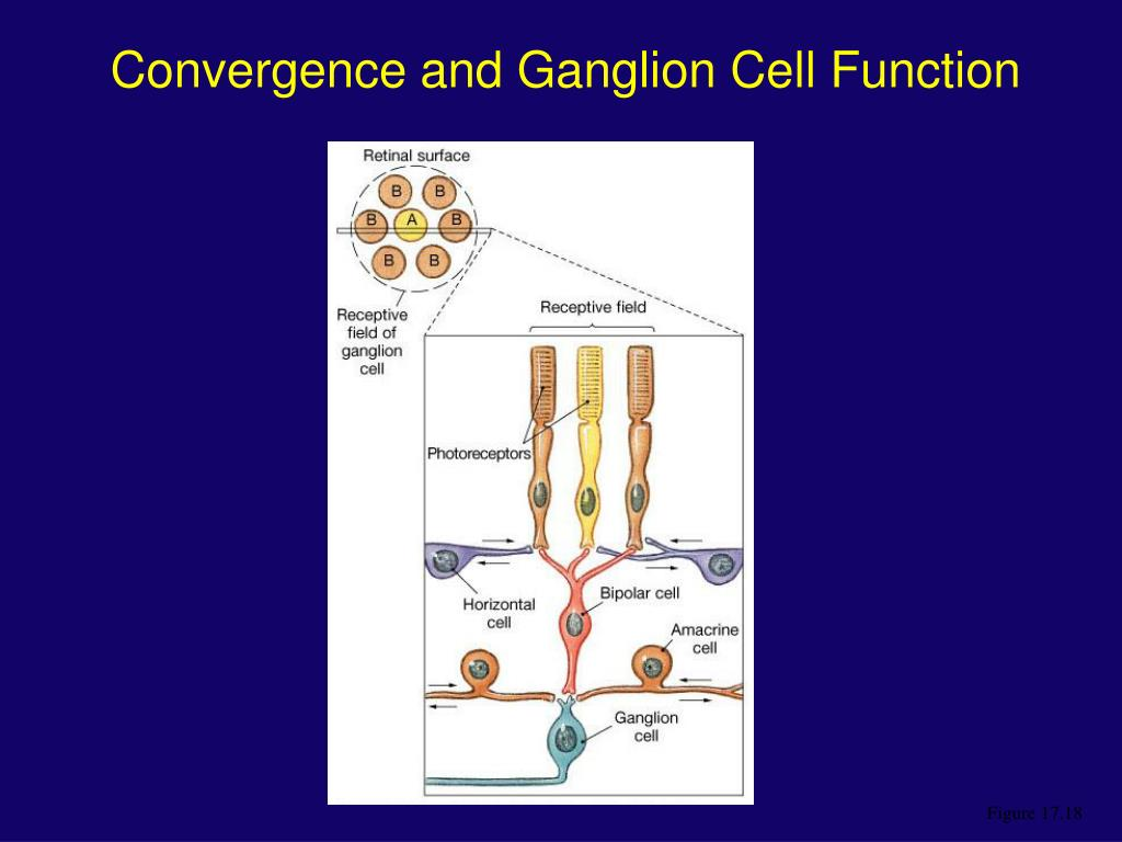 Convergence and Ganglion Cell Function