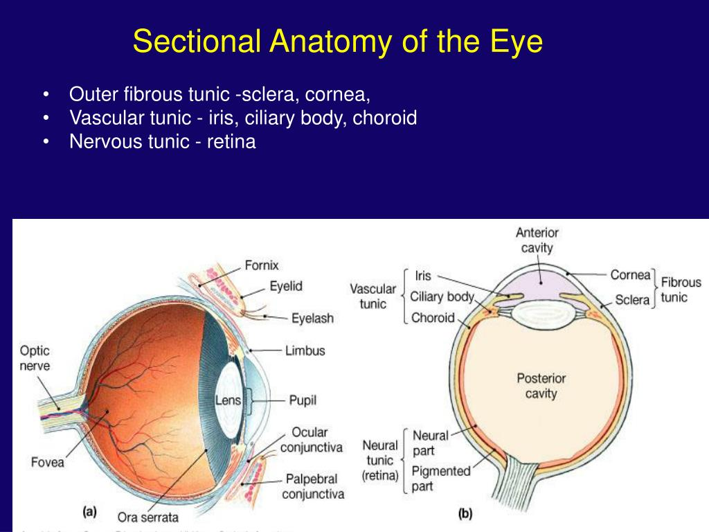 Sectional Anatomy of the Eye
