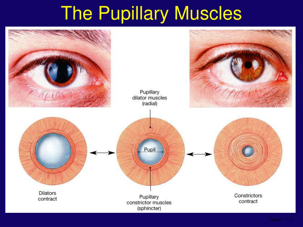 The Pupillary Muscles