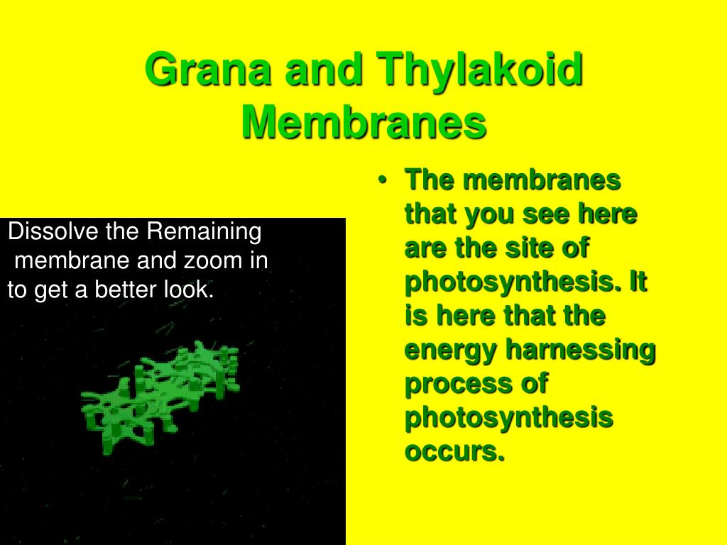 Grana and Thylakoid Membranes