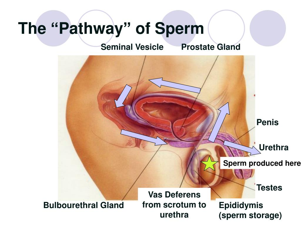 "The ""Pathway"" of Sperm"