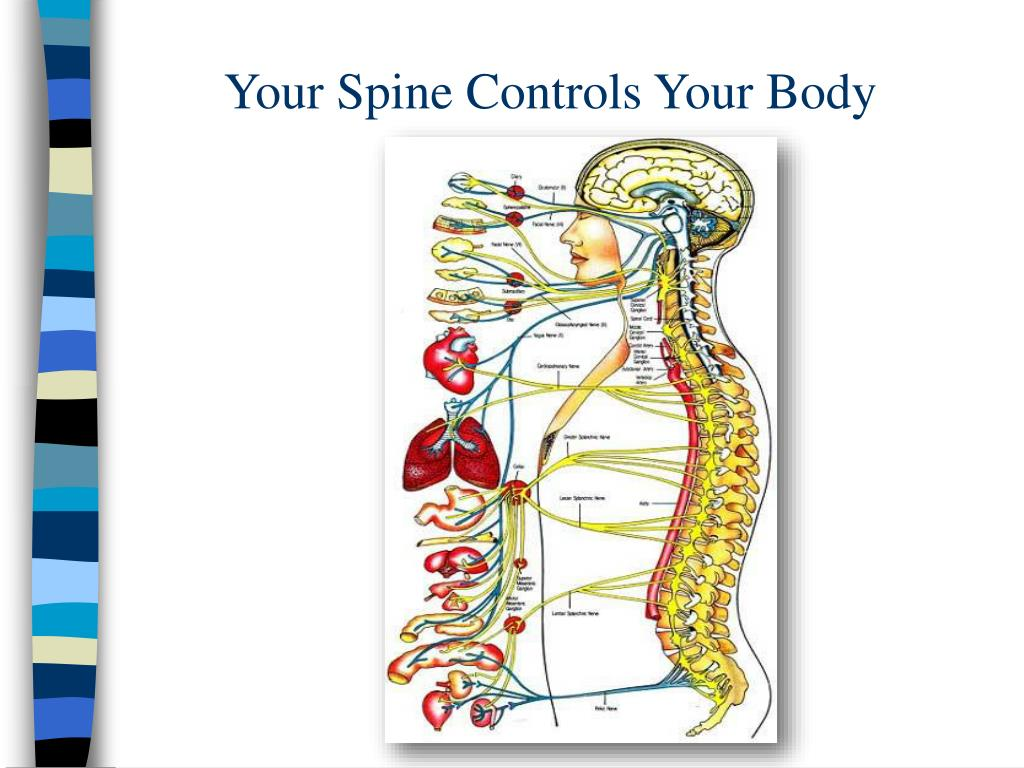 Your Spine Controls Your Body