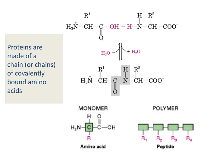 Proteins are made of a chain or chains of covalently bound amino acids3