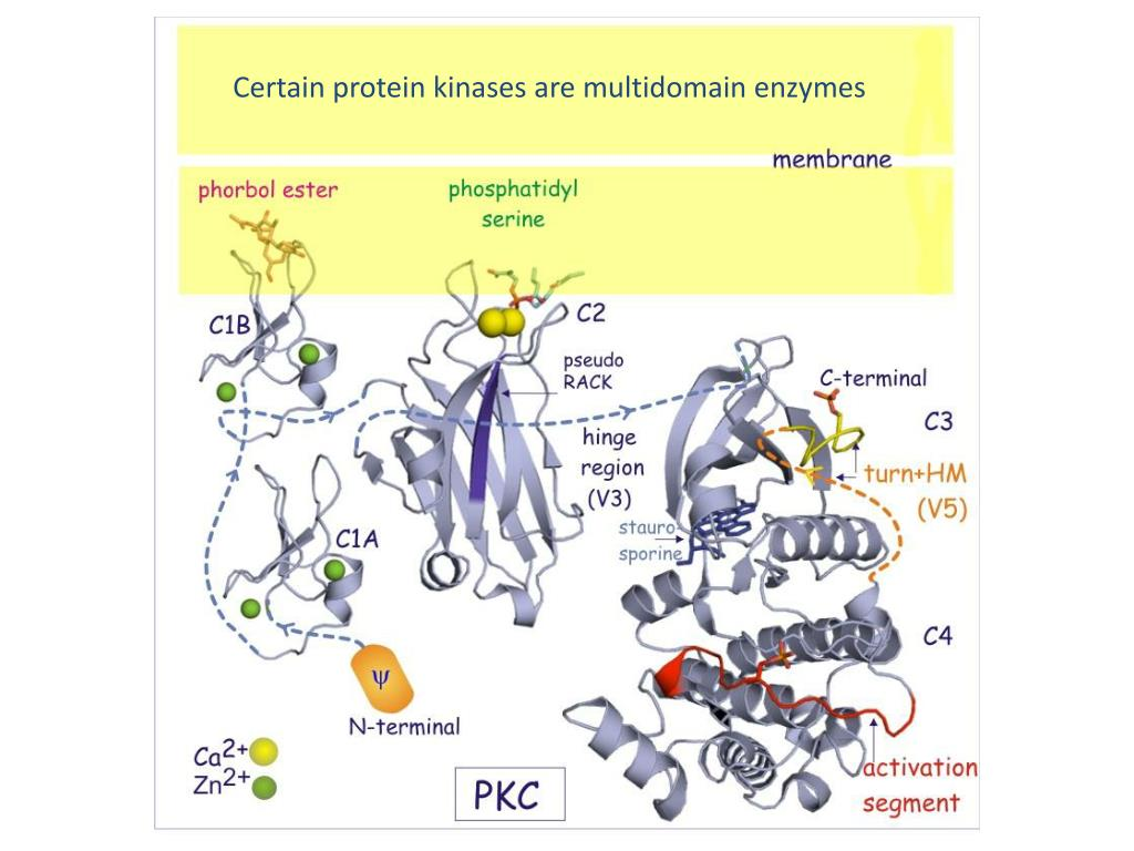 Certain protein kinases are multidomain enzymes