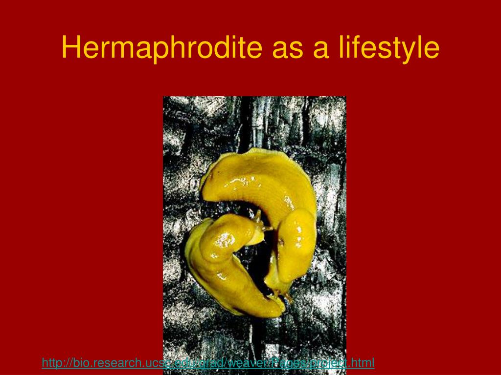 Hermaphrodite as a lifestyle