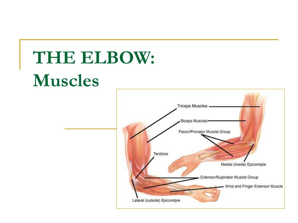 Ppt The Elbow Muscles Powerpoint Presentation Id598364