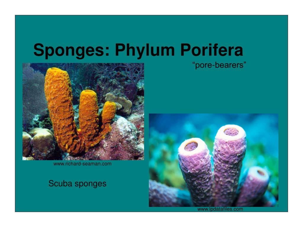 phylum poifera essay